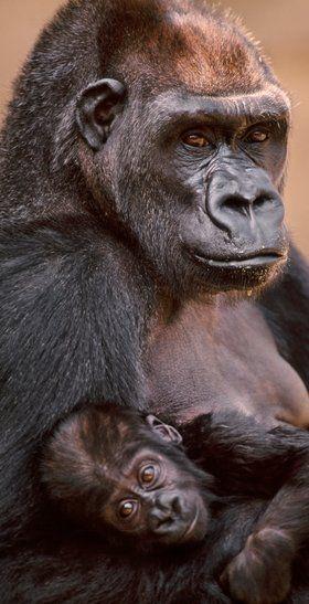 10 cosas que no sabes sobre el pecho femenino ....(FOTOS) En otros primates, unos senos prominentes indican que la hembra está amamantando a sus crías. Pero este es un punto en que los seres humanos difieren de los animales, y las mujeres siempre tienen senos hinchados. Una hipótesis es que son indicativos de la capacidad reproductiva.