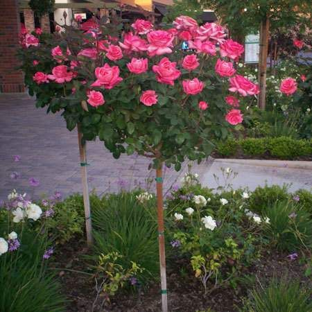 It's True - Huge Pink Blooms on a Tree! - - Huge, Pink Flowers - Blooms from late spring until frost - Extreme pest & disease resistance Imagine all of the amazing characteristics of the Pink Knock Out® Rose Bush... on a tree! These roses aren't just regular blooms, either. The Pink Knock Out® Rose blossoms give you...
