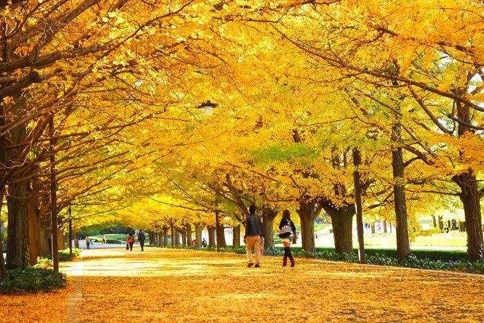 東京ドーム約40個分の広大な公園で、11月中旬に見頃を迎えるイチョウ見物しに毎年多くの人が訪れています。 都内へのショッピングの帰りなどに、気軽に立ち寄れる立地の良さもポイントです♪