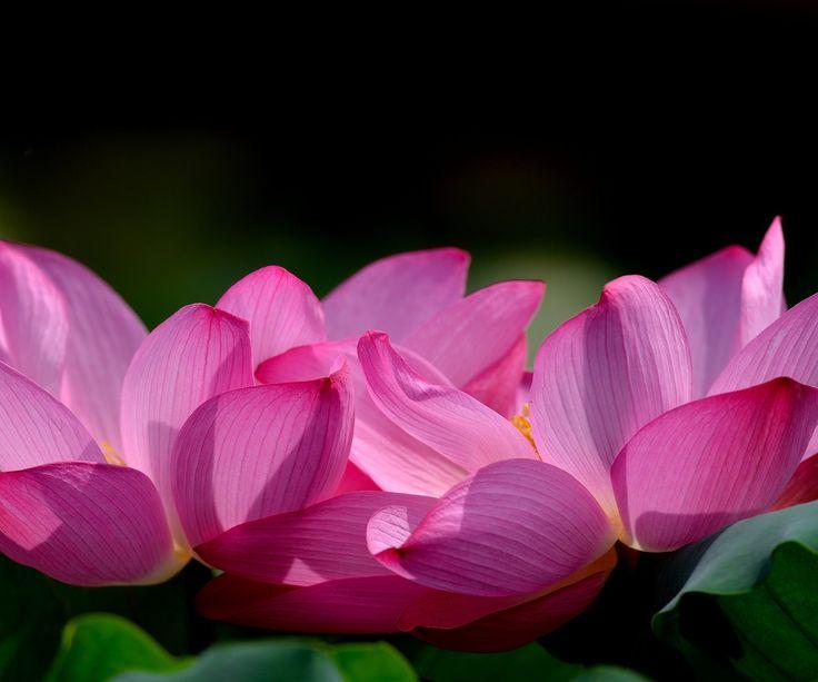 цветы, лепестки, розовые, лотос