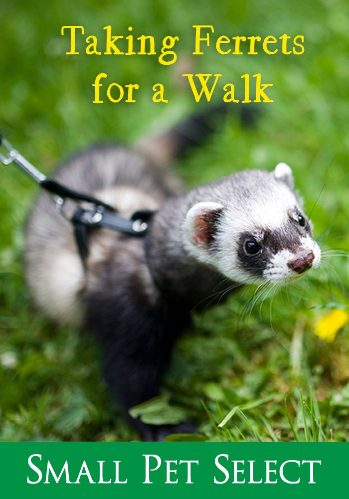 Want To Take Your Ferret Buddy On A Stroll It Just Takes Patience