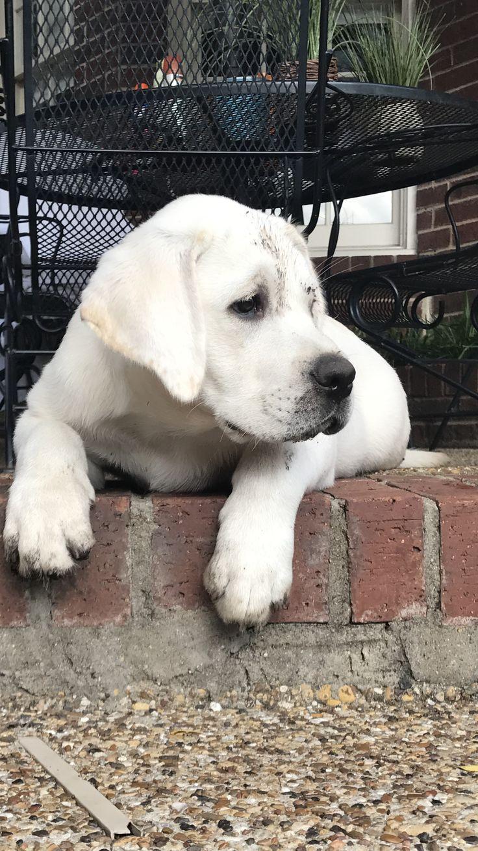 best animals i luv images on pinterest labrador retrievers