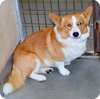 San Jacinto, CA - Cardigan Welsh Corgi. Meet Corgi male, a dog for adoption. http://www.adoptapet.com/pet/13020952-san-jacinto-california-cardigan-welsh-corgi