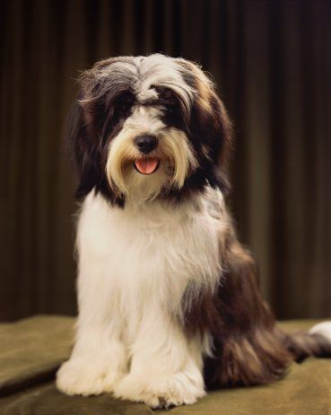 This is what my Tibetan Terrier Vladimir looks like. I have four dogs, cocker spaniel, Tibetan terrier, poodle and a schnauzer. They are all so pretty, loving and sweet!