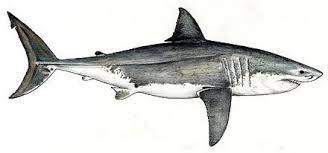 Znalezione obrazy dla zapytania great white shark sketch