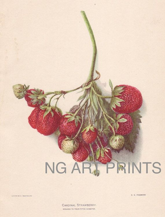 1900s Antique Strawberry Print Fruit Print by NGArtPrints on Etsy, $18.50