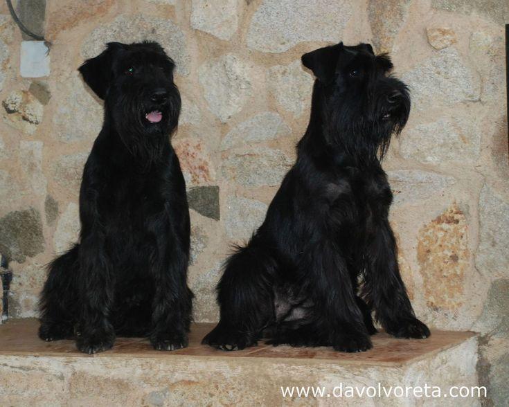 Two females of black standard schnauzer. Sisters of different litters. Ch. Jira Da Volvoreta (left) and Ch. Kettle Da Volvoreta (right).   Dos hermanas de diferente camada de schnauzer mediano negro. A la izquierda Ch. Jira Da Volvoreta y a la derecha Ch. Kettle Da Volvoreta