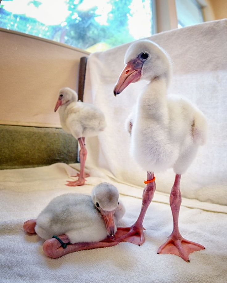 Flamingo babies!!!