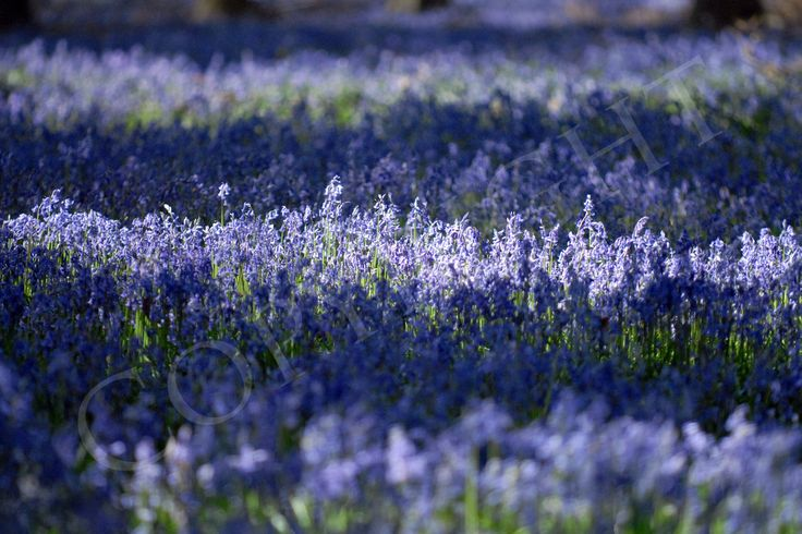 Carpet of bluebells, Wiltshire ©Barbara Leatham Photography