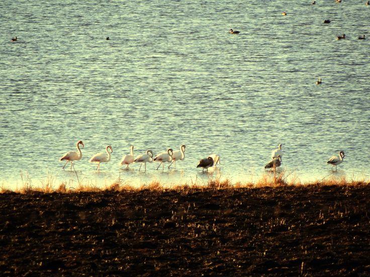 Flamingos in Dave's Dam.