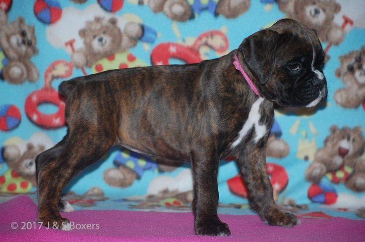 Clara-Russh Puppies – J &S Boxers | Champion European (Euro) German & American Boxer puppy for sale