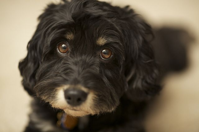 """Oh my goodness. I thought my next dog would be a Schnauzer but this """"Schnoodle"""" is too precious. One day..."""