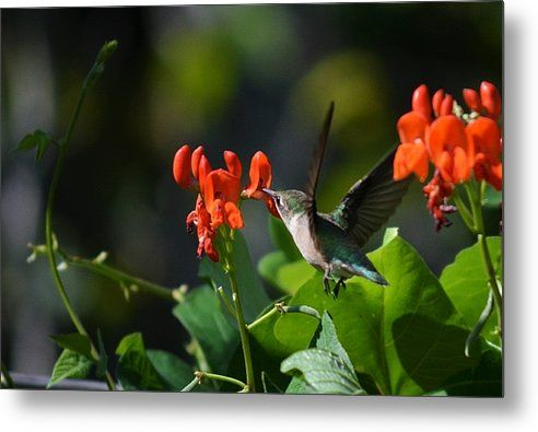 Hummingbird Metal Print By Josh Schwindt - Awesome hummingbird picture. Get yours on canvas or metal today. This would be perfect for a Christmas or wedding gift.