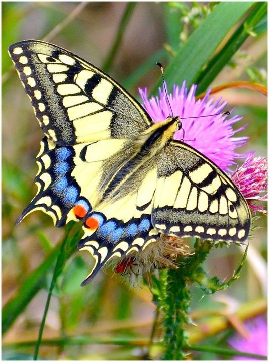 Swallowtail Butterfly (Papilio machaon)