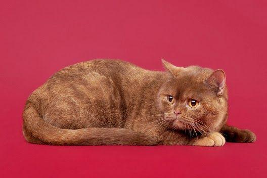 Koty w kolorze cynamonu