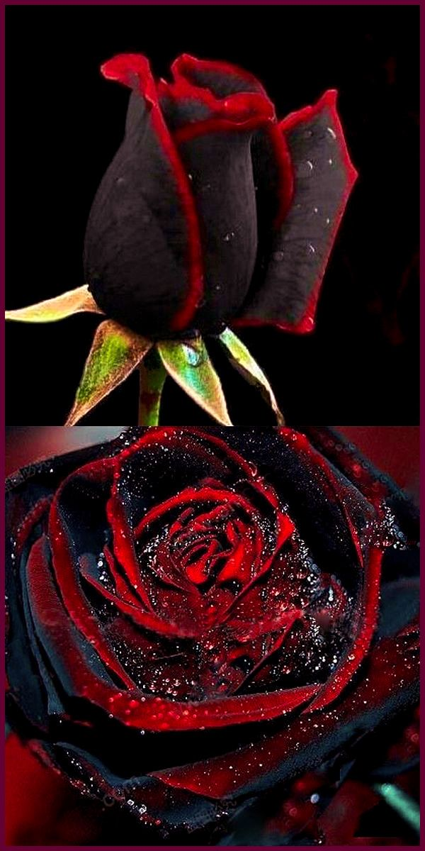 Black with Blood Red Fringes Dragon Rose Cool stuff