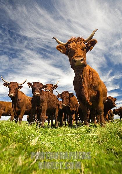Salers cows ( Bos taurus domesticus ) in the Sancy Massif ( Puy de Dôme France )