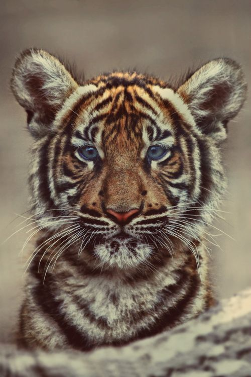 Baby Tiger with blue eyes