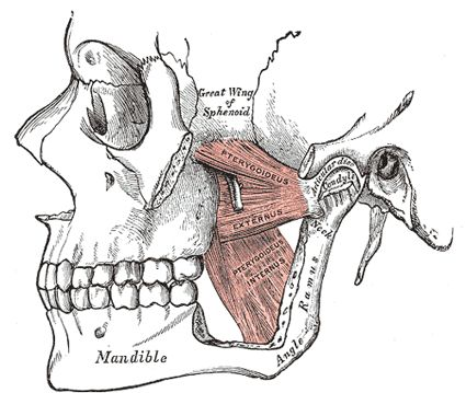 the muscles of mastication - human anatomy | izmok eredés-tapadás, Human Body