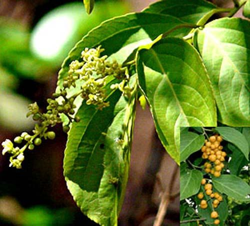 Malkangani or Malkangni; it is a climber shrub that is found all across the India especially in Madhya Pradesh, Punjab and Kashmir.