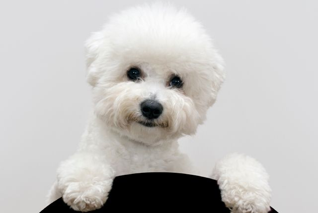 11 Fluffy Facts About the Bichon Frise (Mental Floss).