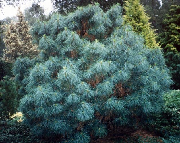 Rich's Foxwillow Pines Nursery, Inc. - Pinus wallichiana – 'Nana'Dwarf Himalayan Pine