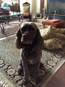 """Date Listed 03-Jul-13 Last Edited 03-Jul-13 Address Iris Way, Fort McMurray, AB T9K 0H5, Canada  View map All - earlier today our dog went missing around 730 pm near Iris Way & Trillium Road in Timberlea. He is a chocolate colored cockerspaniel wearing a red collar. He is a very social dog and his name is """"Cookie""""  Please call at 780-713-2625 or 510-917-5636 (cell) if you have seen"""