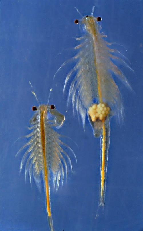 Brine Shrimp (aka Sea-Monkeys) | Artemia is a genus of aquatic crustaceans known as brine shrimp.
