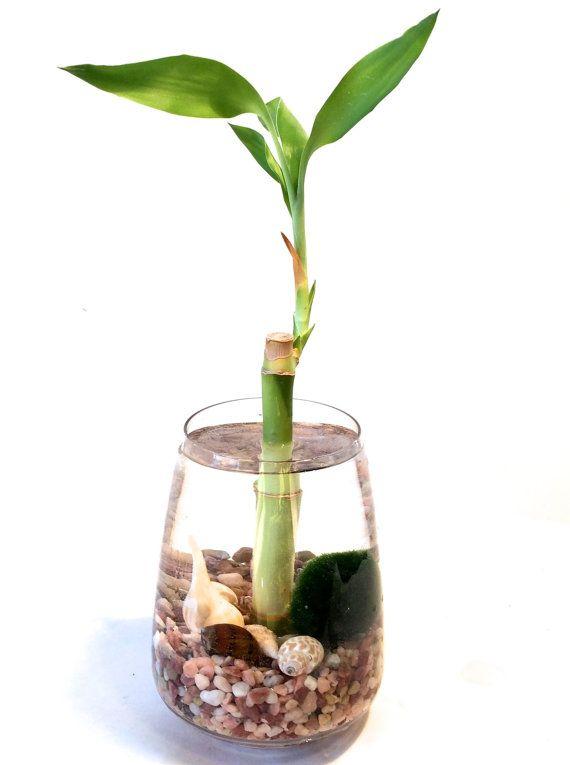 Marimo terrarium with lucky bamboo Japanese by EclecticZenMarimo, $30.00