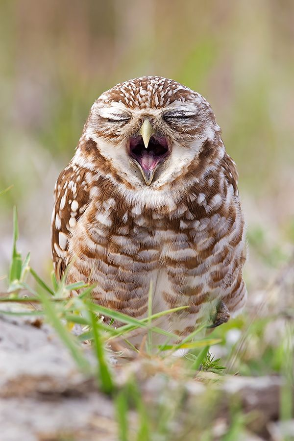 Best Critters Birds Images On Pinterest Alexander - Meet the cuddly owl who loves landing on people