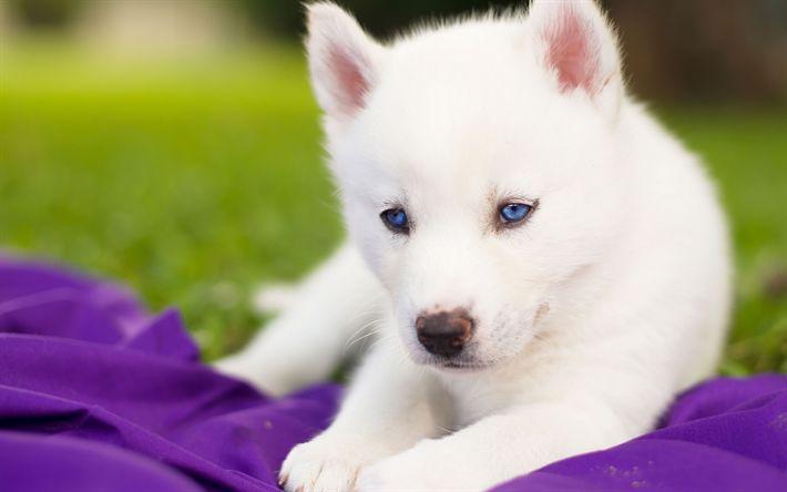 Lataa kuva pentu, husky, pieni koira, valkoinen pörröinen husky, lemmikit