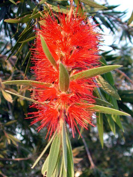 Bottle Brush / list of fire resistant plants for Florida