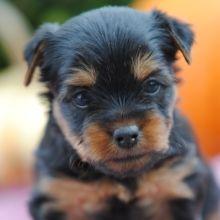Drew Yorkshire Terrier Puppy   – Yorkie