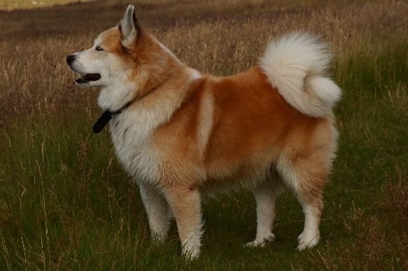 The Icelandic Sheepdog breed has a temperament and personality that is spunky and friendly.  They are extremely social animals that will not thrive if they are separated from their people for prolonged periods of time.