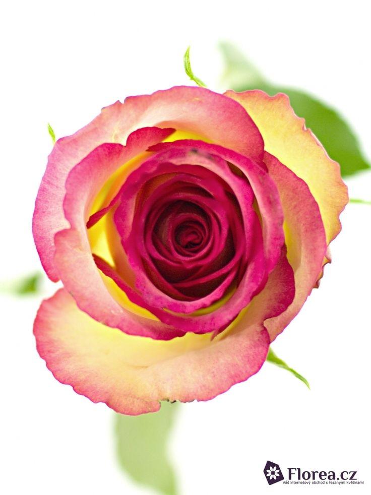 Rosa Glow #ruze #roses #ruzovaruze #ruzeglow #glow #roseglow #florea #florea.cz #pinkrose