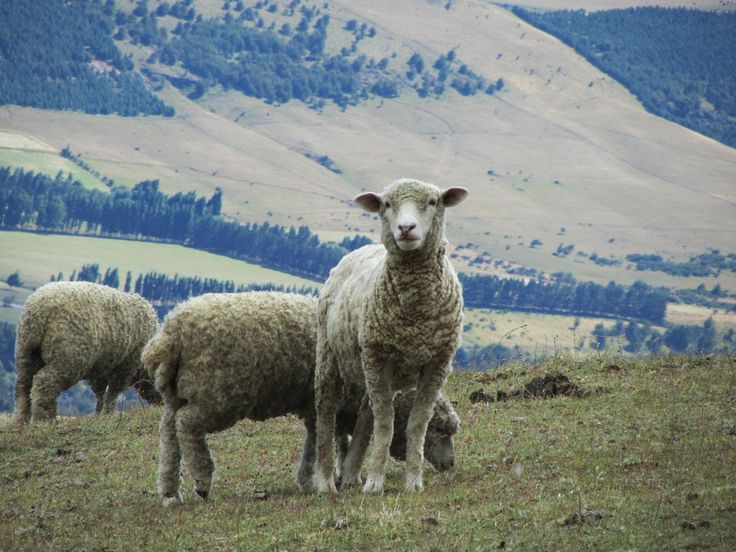 Na  kuli ziemskiej dużo owiec wypasa  się w krajach śródziemnomorskich, takich jak Hiszpania, Portugalia Włochy i Grecja, a oraz w Anglii. W  naszej ojczyźnie do  obszarów mocno łączonych z owcami zalicza się  Podtatrze. Większa   liczba  górskich wyrobów tutejszych jest rodowodu owczego. Z  serwatki wytwarza  sery, ze skór i wełny szyje regionalną garderobę i buty. Wypas  owiec  ma miejsce od  stuleci, a popyt na wymienione surowce  sprawia że będzie  miała miejsce  wciąż   szereg lat
