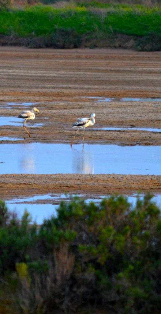 Greater flamingos eating in Ria Formosa's Natural Park - #Faro, #Algarve; Sleep at www.casaaorta.com/eng
