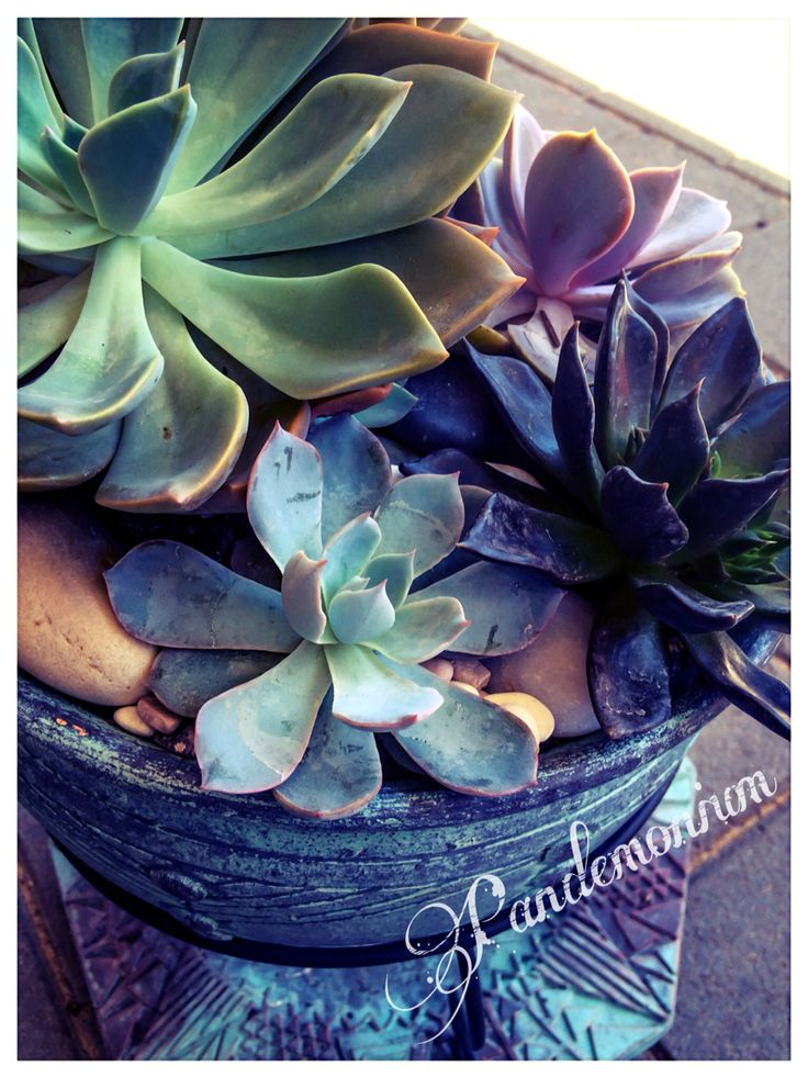 Echeveria pea cockii and black prince