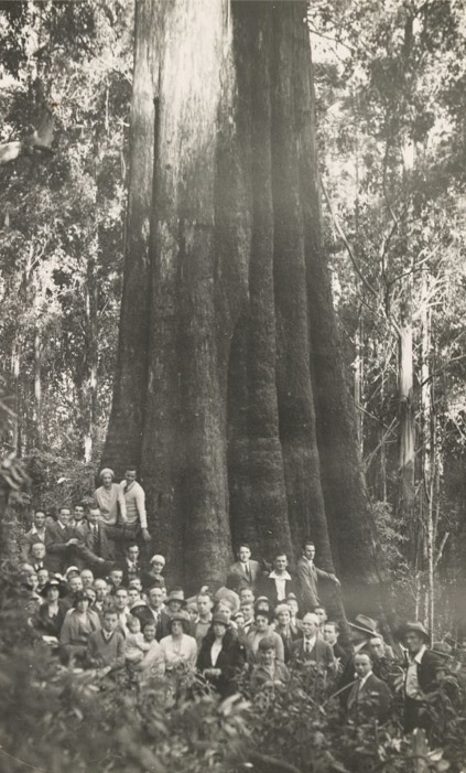 this is a photo of the Furmston Tree, in Central Victoria. It was one of the world's largest gum trees, until it collapsed in the late 1990's. (Photo courtesy of State Library of Victoria.)