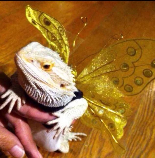 Life Of A Bearded Dragon Hubpages