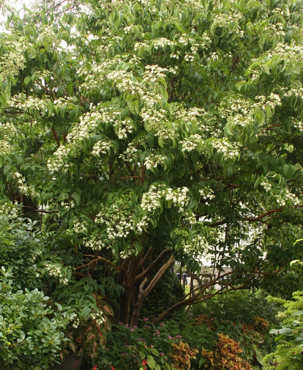 28 best trees salt tolerant wind drought images on for Fast growing drought tolerant trees