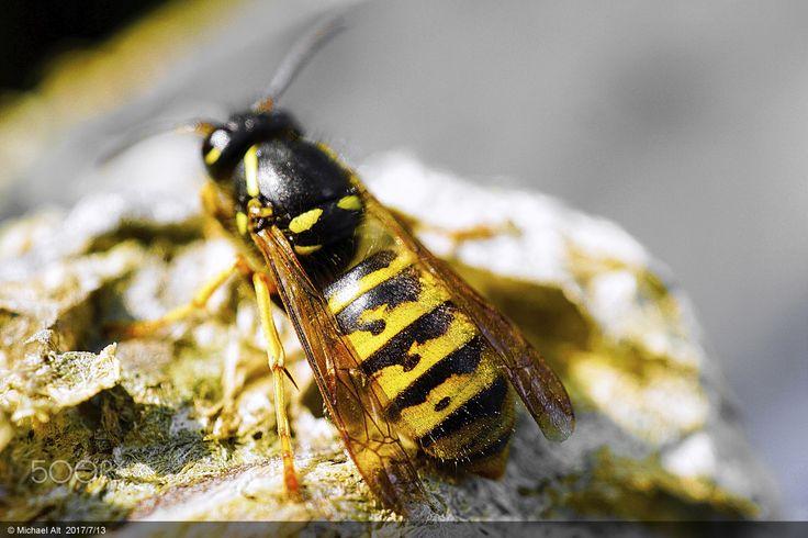 Gemeine Wespe - Vespula vulgaris -