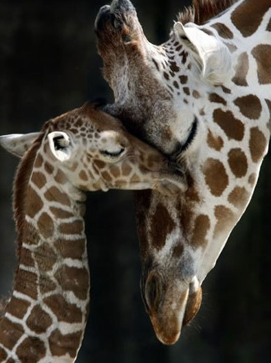 mommy and baby giraffes