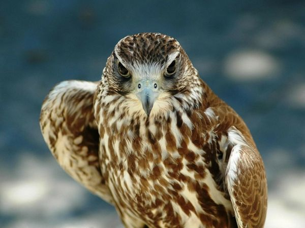 Angry Animals Google Search: Http://www.bing.com/images/search?q=hd Hawk