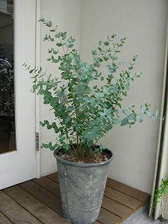 ユーカリ 鉢植え - Google 検索
