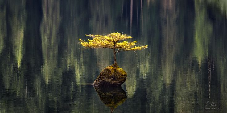 A lone tree grows in the middle of Fairy Lake, Vancouver Island B.C. [4437x2219] #nature #photography #travel