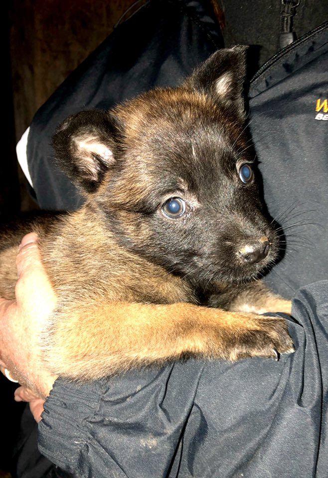 Belgian Malinois Puppy Dark Sable Www Wolfsbanek9 Com With Images Belgian Malinois Malinois Belgian Malinois Breeders