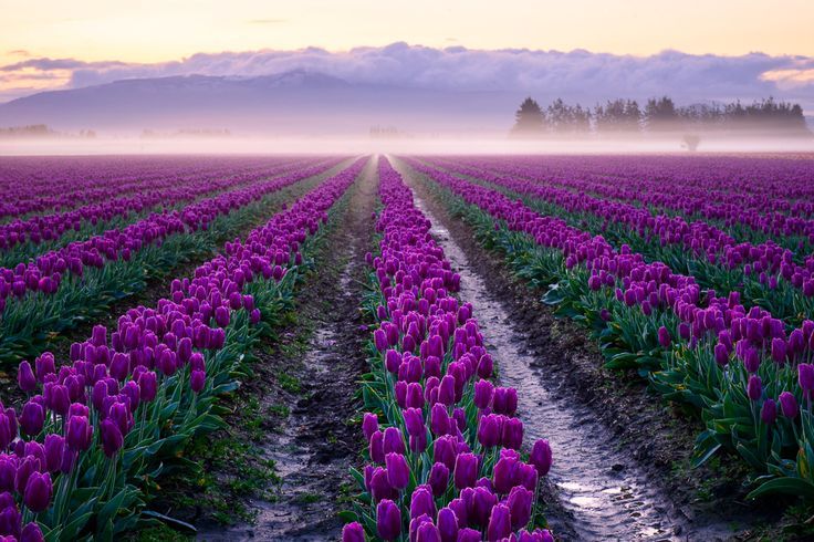 Early morning haze on the tulips fields.