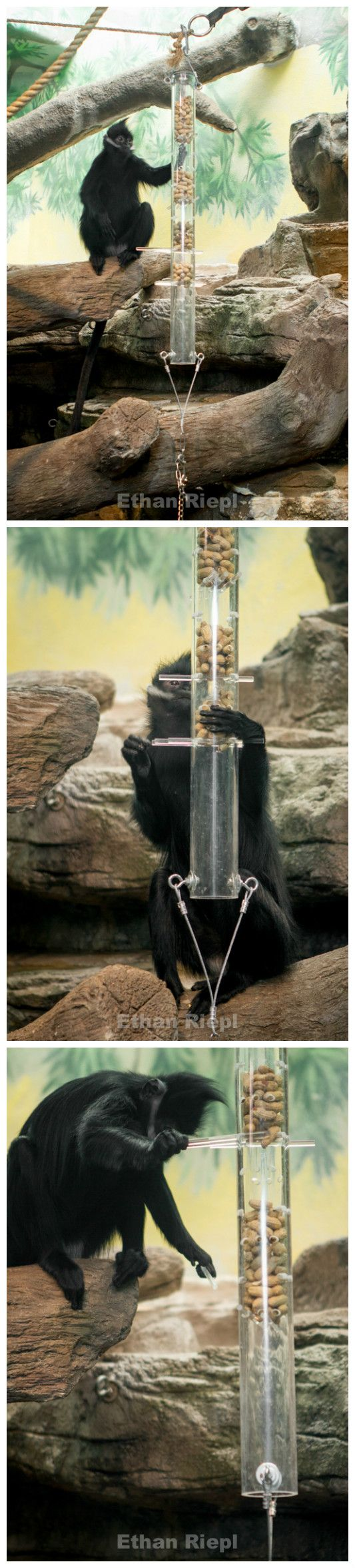 Kerplunk Feeder for Francois Langur at Saint Louis Zoo.