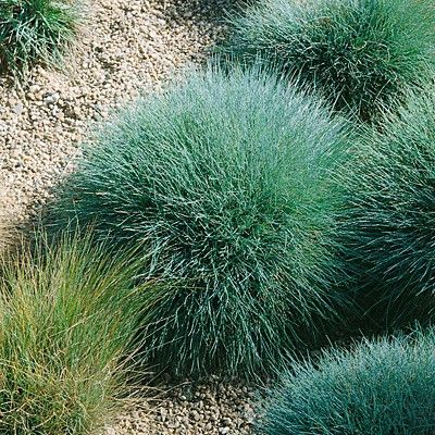 96 best utah native plants images on pinterest for Blue ornamental grass varieties